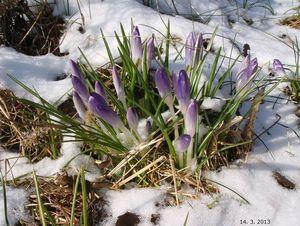Šafrán (Crocus sp.)